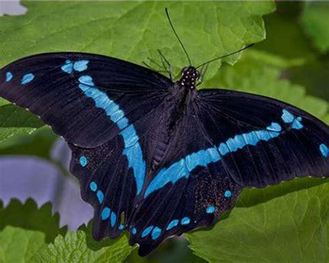 blue banded swallowtail chicago botanic garden