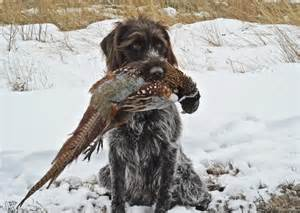 wirehaired pointing griffon dogs pinterest hunting