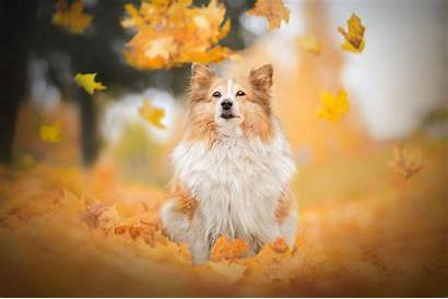 Dog Breed Shetland Sheepdog Resolution Animals Background