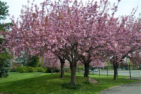 ornamental japanese cherry tree images for gt ornamental cherry trees plants in the yard pinterest prunus cherry tree and