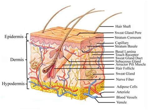 Skin Cell Diagram Label by Angry Acne Alvinology
