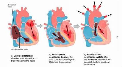 Cardiac Cycle Heart Mammalian Diastole Phases Stages