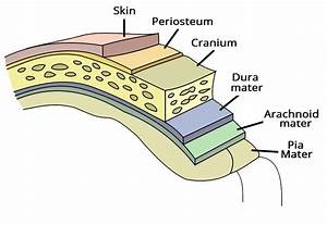 The Meninges - Dura - Arachnoid - Pia