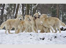 Weissen wölfe im schnee HD Hintergrundbilder