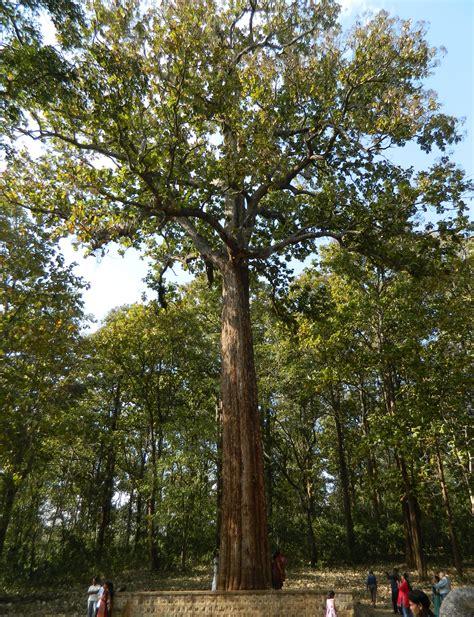 size bed wood file kannimara teak tree jpg wikimedia commons