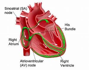Electrical Conduction System Of The Human Heart  5