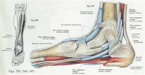 Diagram Of Heel Structure by Foot Anatomy And Function प द Pāda Elliots World