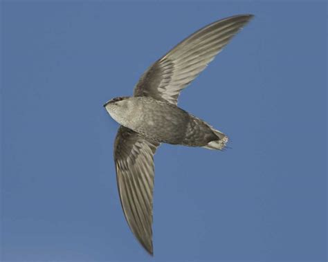 Swifts Roost In Chimneys
