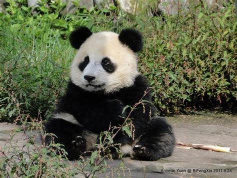 bfx panda kindergarten