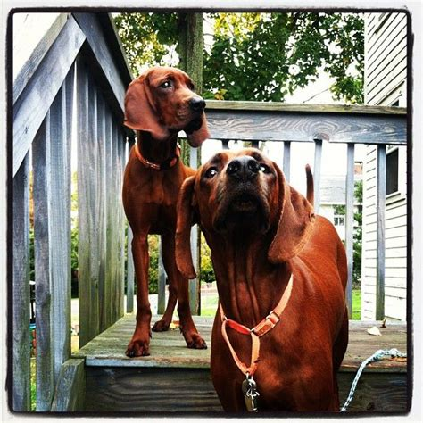 do redbone coonhounds shed 1000 images about redbone coonhound on