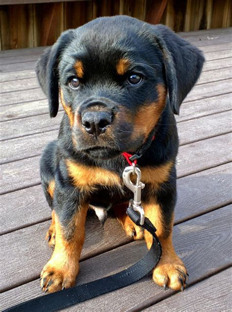 traits   rottweiler dog care daily puppy