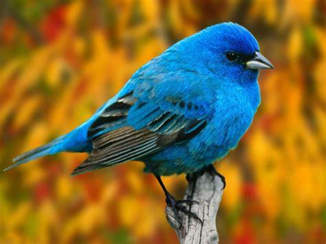 Animated Bird Wallpaper - bluebird wallpapers backgrounds