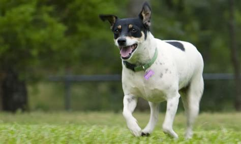 rat terrier grooming bathing  care espree animal products