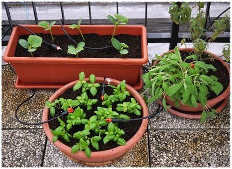pomodoro ciliegino in vaso giulio gmdb 169 coltivare in terrazzo