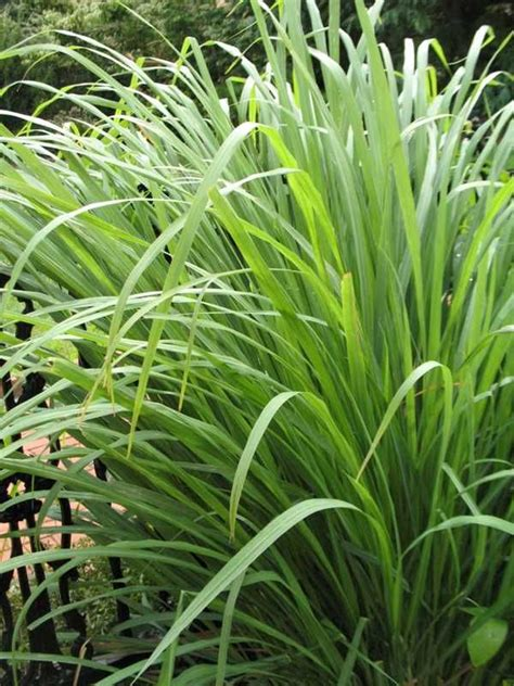 lemongrass landscaping best 25 lemongrass mosquito ideas only on pinterest anti mosquito plants mosquito plants and