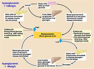 Biology Notes For A Level   113 The Control Of Blood Glucose