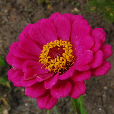 zinnia dahlia the allotment plot higgledy garden