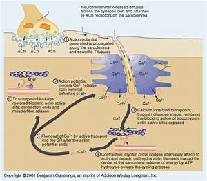 Sliding Filament Theory- Muscle Contraction