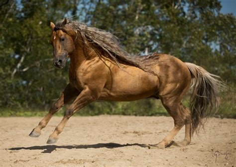 quarter horse horses american dun latigo hollywood breed arabian scoop inside pets standardbred west breeds talk