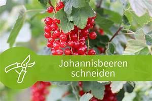 Wann Johannisbeeren Pflanzen : johannisbeeren schneiden strauch und hochstammschnitt f r alle sorten ~ Orissabook.com Haus und Dekorationen
