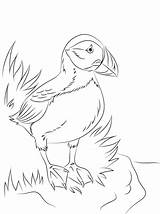 Puffin Coloring Pages Atlantic Seabird Printable Newfoundland Puffins Drawing Bird Sheets Colouring Animals Mummers Pole North Birds Nature Supercoloring Adult sketch template