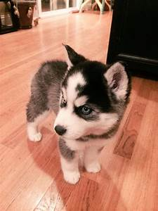 Follow me, Pets and Baby huskies on Pinterest