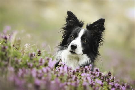 Animal Border Wallpaper - border collie hd wallpaper and background image