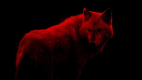 Blood Red Wolf Abstract By Rockfordmedia