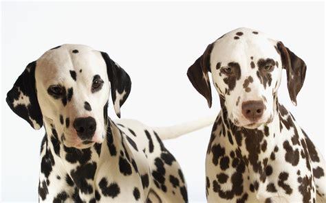 hd dalmatian dog wallpapers
