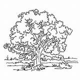 Coloring Tree Oak Wild Trees Sheets Momjunction Designlooter Ones Types 56kb 230px Leaf sketch template