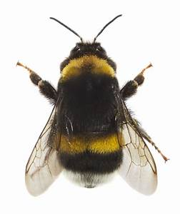 Dumbfounding Facts About Bumblebees