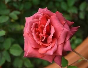 PlantFiles Pictures: Hybrid Tea Rose 'Smoky' (Rosa) by ...