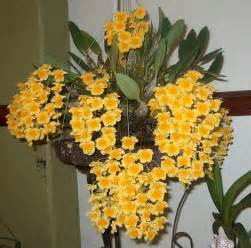 orchids flowers dendrobium aggregatum owner caridad an excellent