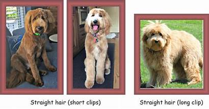 Straight Coat Wavy Types Goldendoodle Textures