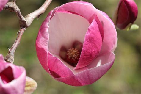 Magnolie Radikal Schneiden magnolie schneiden schnittanleitungen zum pflegen und