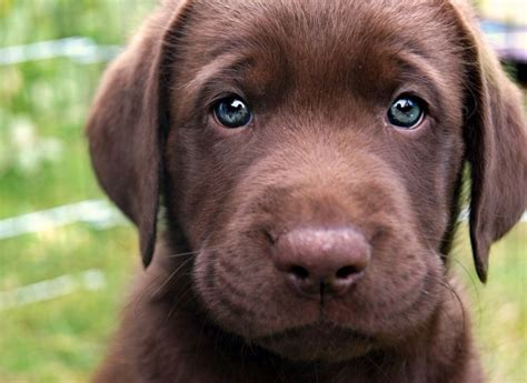 best ideas about labradors on 25 best ideas about perro raza labrador on
