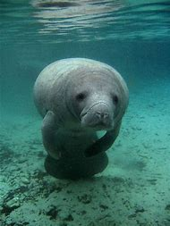 Facts About Florida Manatees