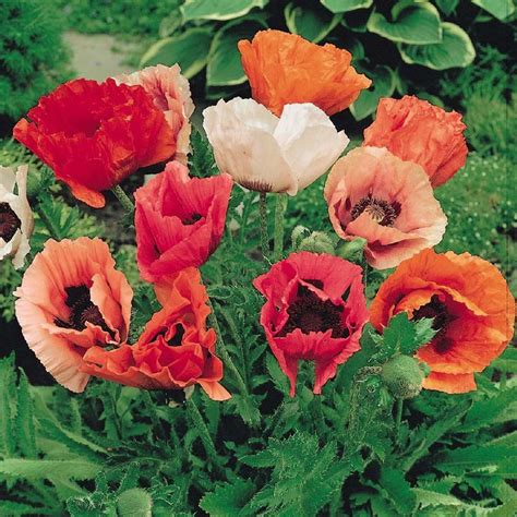 poppy seeds papaver orientale oriental pizzicato mix colors mixed flower flowers varieties plants seedman garden edenbrothers low medium sold