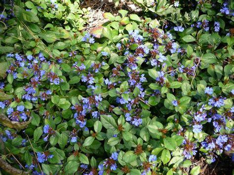 blue ground cover perennials blue leadwort okanagan xeriscape association