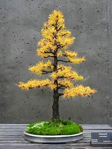 bonsai baum zchten our plants in portrait the privet as With whirlpool garten mit bonsai ligustrum