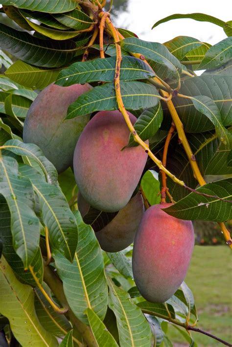 Mango Tree Problems  No Mango Fruit On Tree