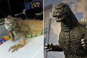 Taiwan Firefighters Called To Catch U002639dinosauru002639 Iguana On