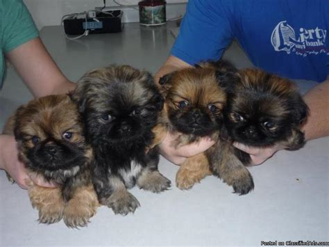 pekingese puppies price   sale  saint cloud