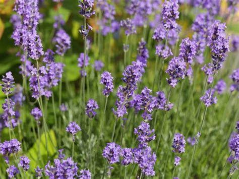 pflanzen die schnecken nicht mö stark riechende pflanzen wie lavendel m 246 schnecken