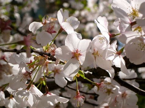 different types of cherry trees why don t ornamental cherry trees produce fruit