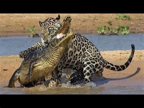 jaguar  crocodile fight  death youtube