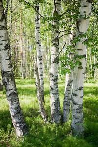 Schwarz Auf Weiß Lied : die besten 25 birke baum ideen auf pinterest birkenbaum clipart schwarz und wei und ~ Orissabook.com Haus und Dekorationen
