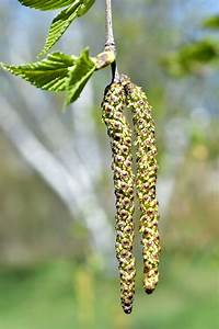 Severe winter results in high pollen count in Maine ...