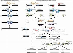 Schematic Overview Of Dsb Repair Pathways In C  Elegans