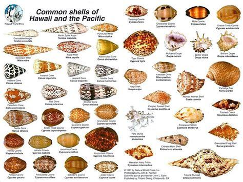 common shells  hawaii   pacific halehawaii home